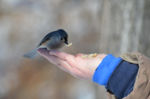 A Tufted Titmouse Gets a Peanut