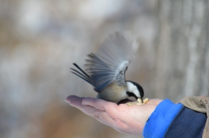 A Black-Capped Chickadee In for His Landing