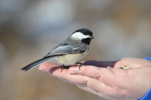 A Bird (Chickadee) in The Hand