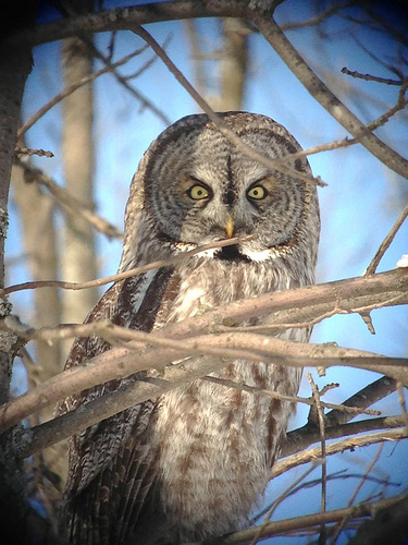 Great Gray Owl (gorgeous photography by Jeremy Halka)