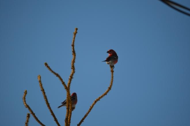 Pine Grosbeaks!