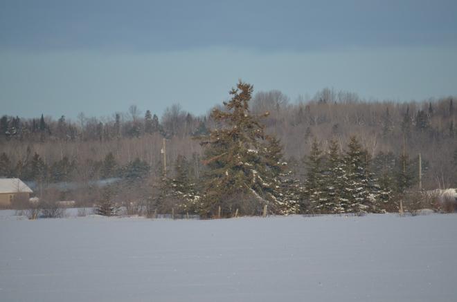 Tree Full of Sharp-Tailed Grouse