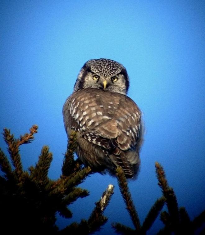 Northern Hawk Owl (Jeremy Halka)