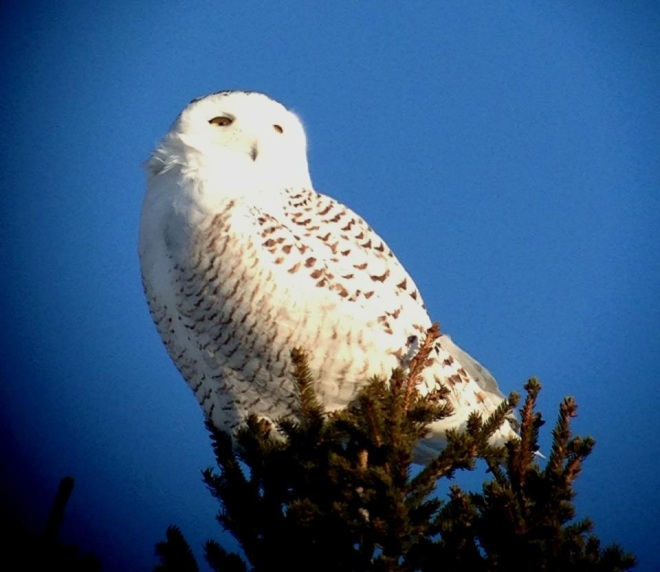 First Time to REALLY see a Snowy Owl!