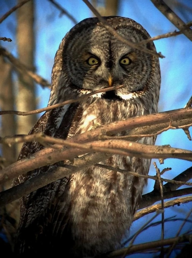 Great Gray Owl (thanks to Jeromy Hakyl)