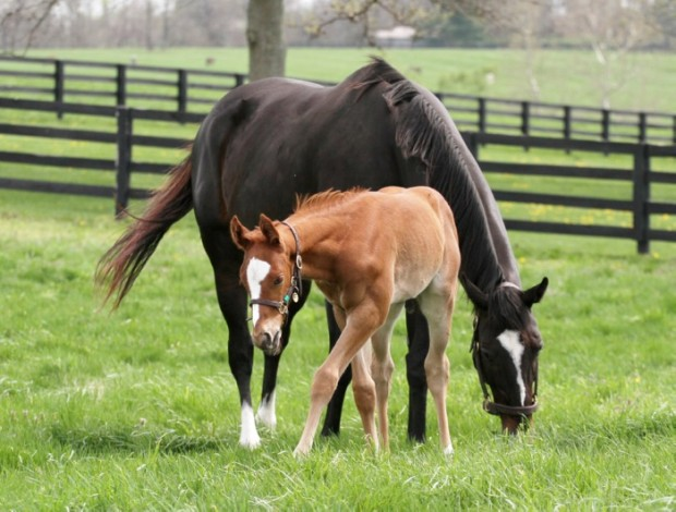 The Great Zenyatta and her 2013 Colt Photo by Alys Emson/Lane's End