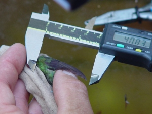 Measuring Wing Length
