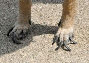 Grotesquely Long Nails (Photo taken day she arrived at Rescue)