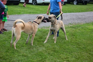 Karu's pups, Augusta and Gunner, meet again for the first time since adoption. Gunner (the brindle) looks a little tentative