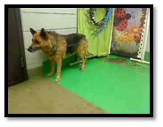 Guthrie in the Shelter (Before rescue by the Miracle GSD Network)