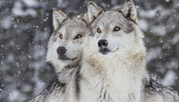 Rejecting the Will of the People: Wolf Hunting in Michigan